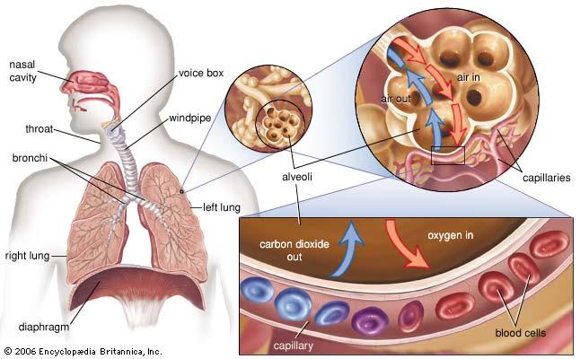 external image alveolus.jpg