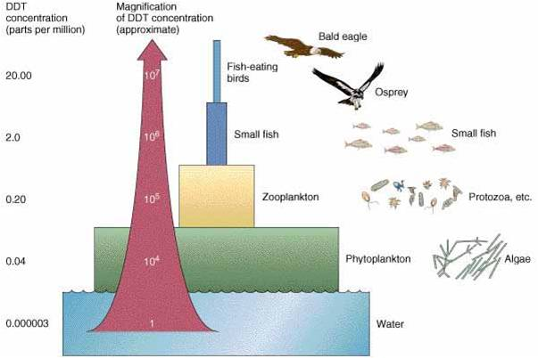 lab on biomagnification Environmental biology - ecosystems overview biomagnification occurs when organisms at the bottom of the food chain concentrate the material above its.